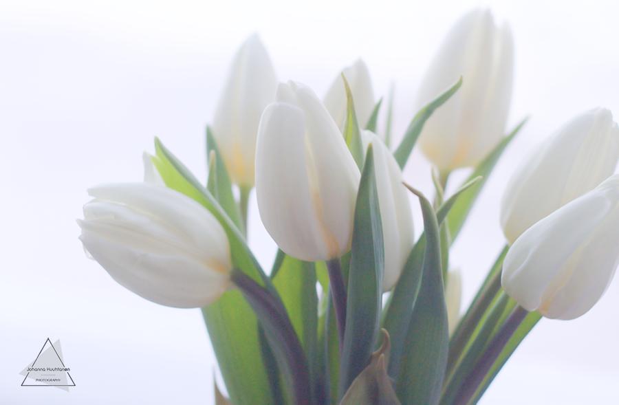 Valkoiset tulppaanit