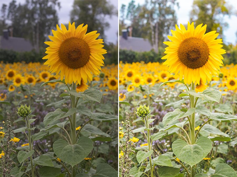 Näin muokkaan kuvani - auringonkukka